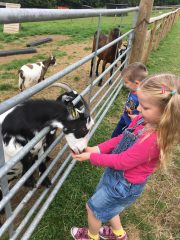 Bocketts Farm, feeding goats